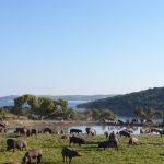 Cerdos-ibericos-campeando-primavera
