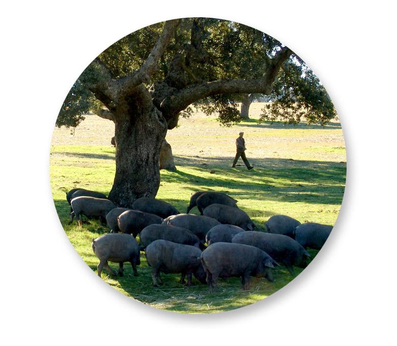 cerdos-y-encinas-dentro-circulo-sierra-de-codex