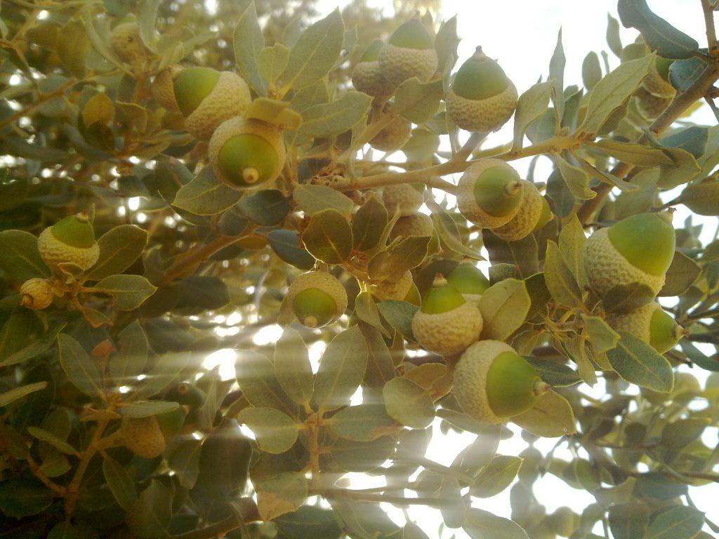 Las bellotas abundantes y sanas esta temporada